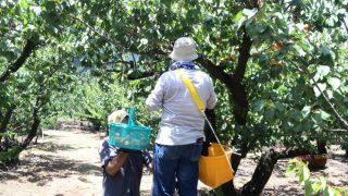【あんずの生産農家で収穫作業体験】