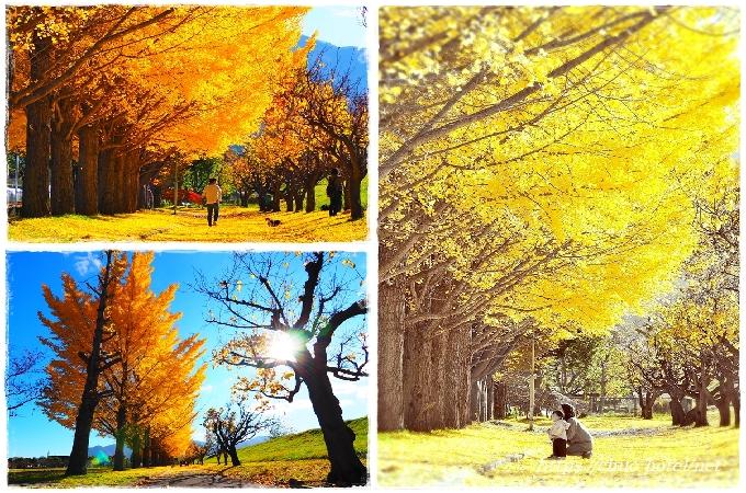 長野県千曲市更埴中央公園銀杏並木
