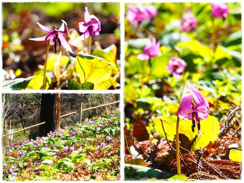 カタクリの花満開佐良志奈神社