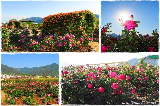 信州坂城町ばら祭りさかき千曲川バラ公園