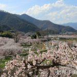 「日本一のあんずの里」あんず開花情報【平成29年3月29日現在】