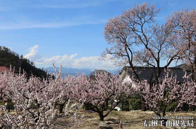 平成29年 あんず開花予想は4月6日!