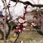 開花情報「日本一のあんずの里」であんずが開花【平成29年4月6日現在】