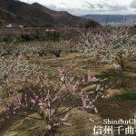 あんず開花情報 中間地で5分咲き【平成29年4月9日】