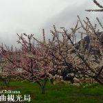 あんず開花情報 平地は満開【平成29年4月11日】