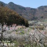 あんず開花状況 山間地 満開/平地・中間地 散りはじめ【平成29年4月17日】