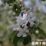 リンゴの花が満開 摘花作業進む