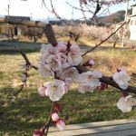 あんず開花情報 平地3分咲き【平成30年3月31日現在】