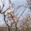 開花情報「日本一のあんずの里」であんずが開花【平成30年3月29日現在】