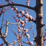 あんず開花情報 平地3分咲き【平成30年3月30日現在】