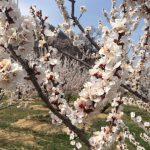 あんず開花情報 9分咲き 見頃を迎えました【平成30年4月3日現在】