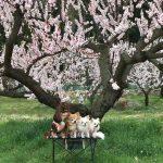 あんず開花情報 落花盛ん 桜は姨捨で見頃【平成30年4月9日現在】