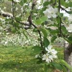 りんごの花が満開!摘果作業が進んでいます。
