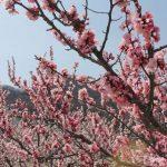 あんず開花情報 5分咲き 平地と中間地で見頃【平成30年4月1日現在】