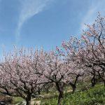 あんず開花情報 満開 アンズと桜とアルプスと【平成30年4月5日現在】