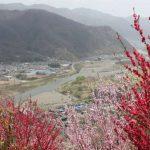 千曲市花だより 山あいで桜と花桃が見頃に