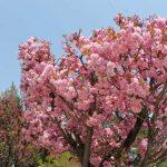 千曲市花だより 八重桜・ハナモモ・りんご 咲き誇る