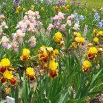 千曲市花だより ジャーマンアイリス バリエーション豊かな花が開花