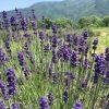 500株のラベンダーが開花 一番香りが良い時期です