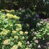 智識寺の紫陽花 見頃は来週