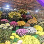 八幡宮で菊花を楽しむ。 武水別神社「千曲大菊花展」