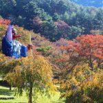 紅葉狩りシーズン到来! サクラが見頃を迎えています