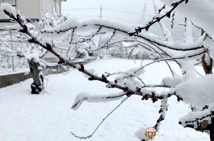 あんず開花予想 3/14 日 発表