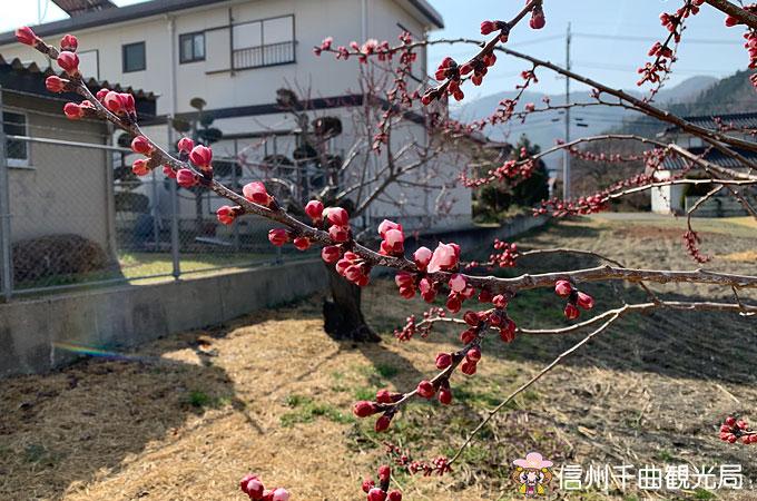日本気象協会 あんず開花予想(3/27日発表)
