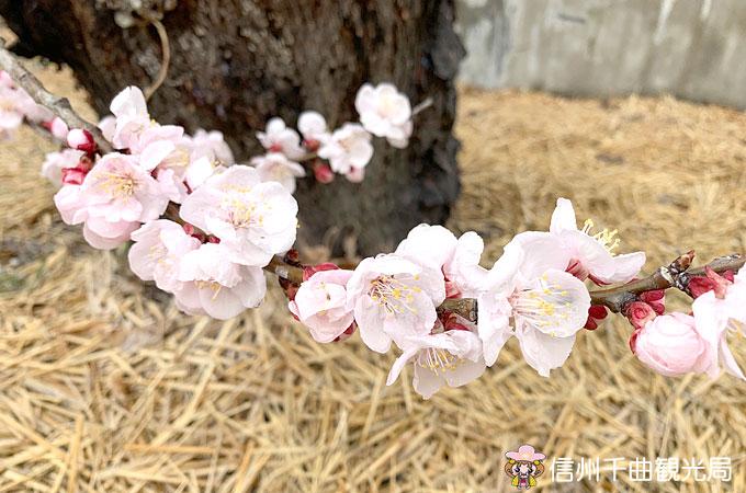 平成最後のあんずの開花宣言!平成31年3月28日