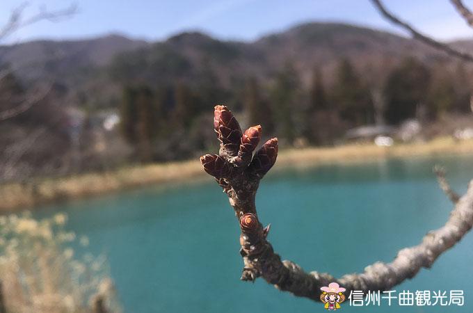 千曲市内の桜だより