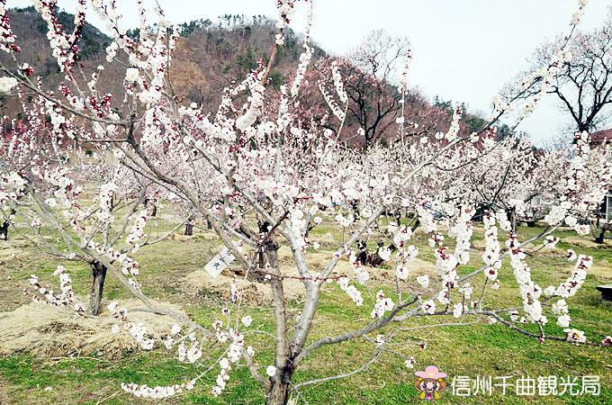 あんずの開花状況 平成31年4月7日 現在