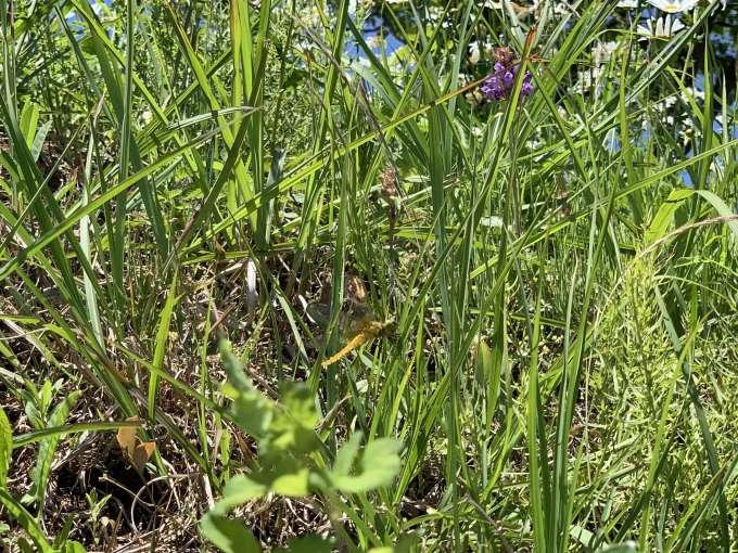 草むらに止まる「ハラビロトンボ」