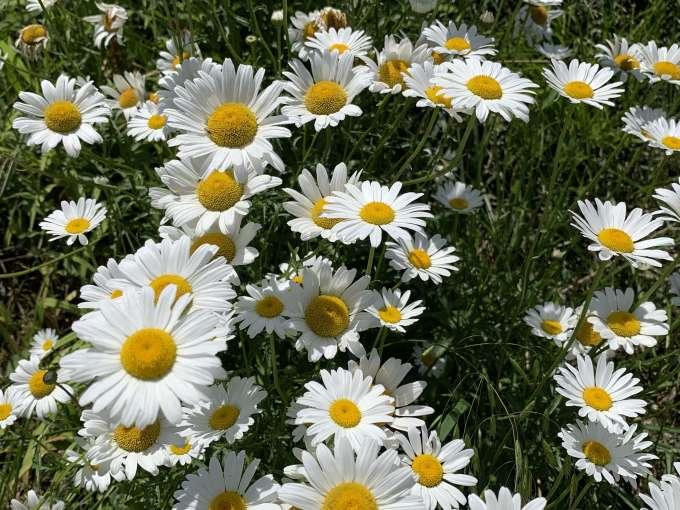 満開に咲くマーガレット